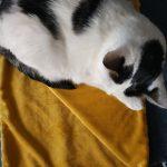 www.themisscat.pl-THE-MISS-CAT-kocyk-dla-kota-psa-cat-blanket-dog-blanket-CHILL-OUT-mustard-musztardowy-1-uai-1032×1033